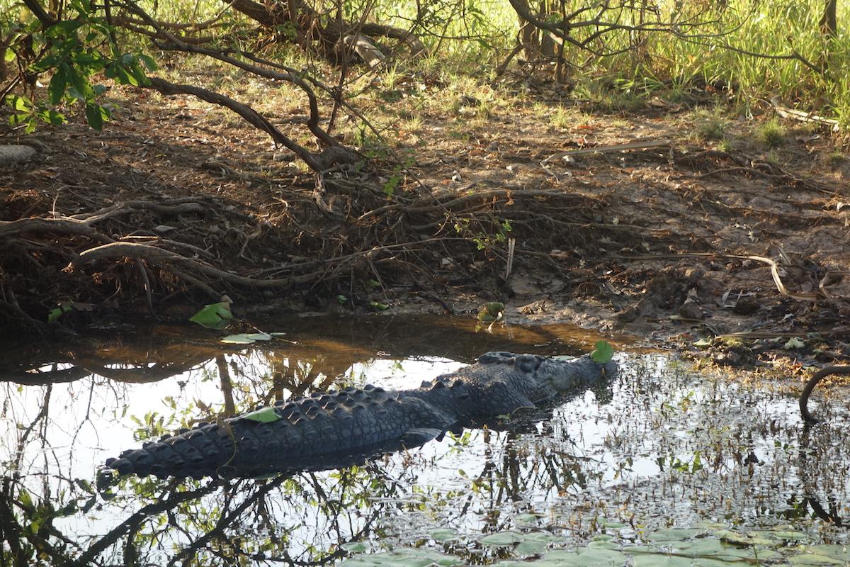 australien-salzwasser-krokodil