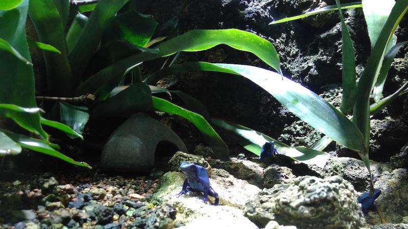 Pfeilgiftfrosch im Zoo Zürich