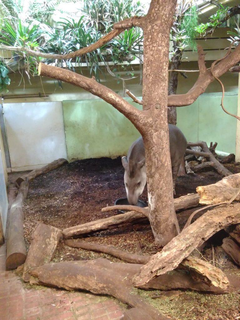 Tapir im Zoo Zürich